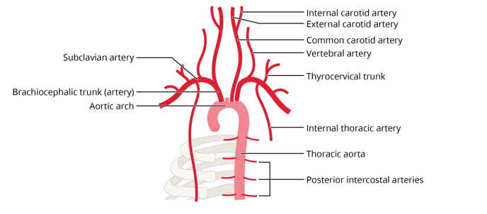 Free anatomy image circulation diagram thoracic aorta | Lt | ADI