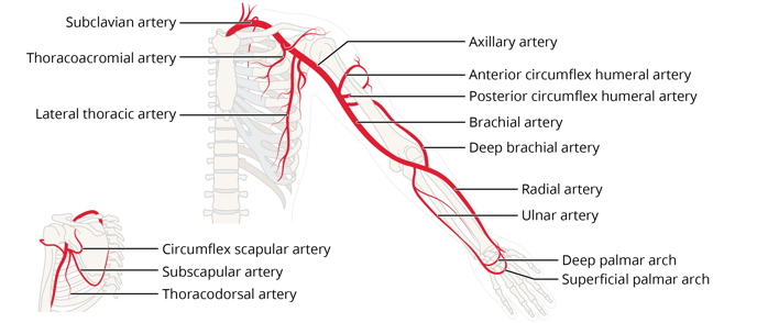 Free anatomy image circulation diagram upper extremity | Lt | ADI