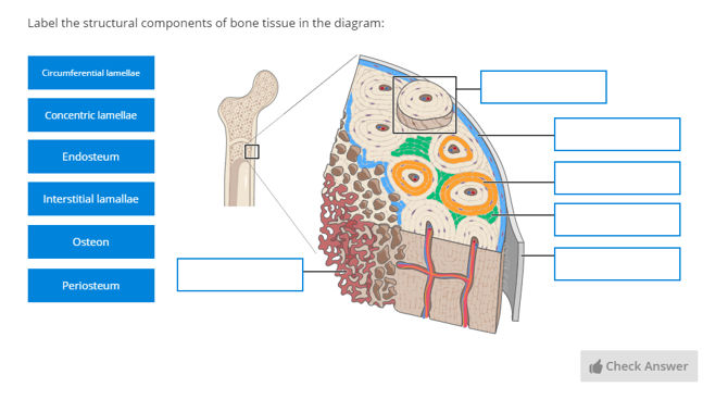 stylized anatomical drawing bone tissue | Anatomy Collection | Lt
